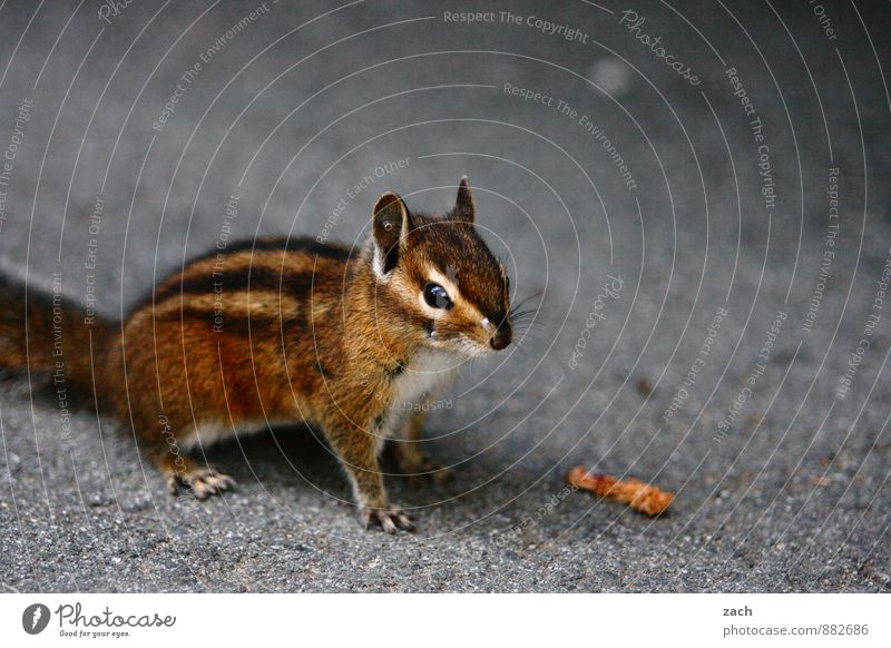without model release Animal Wild animal Animal face Pelt Claw Paw Rodent Eastern American Chipmunk Squirrel 1 Observe To feed Feeding Cuddly Cute Brown Gray