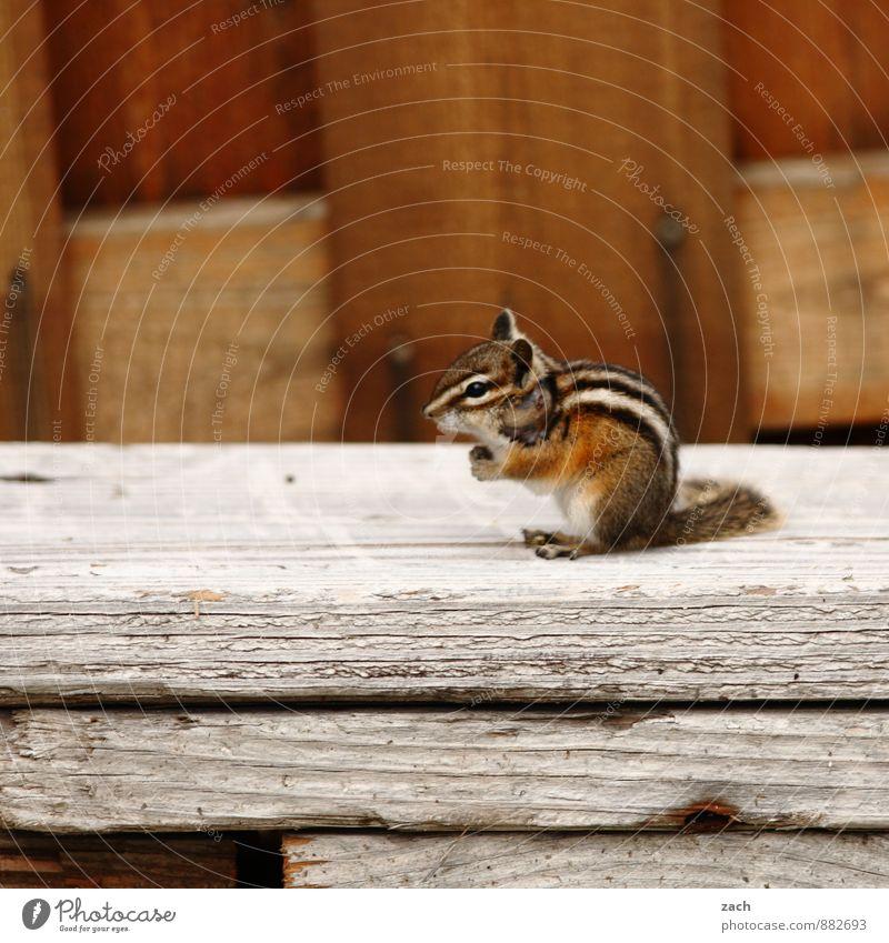 Animal Garden Brown Wild animal Sit Cute Stripe Pelt Hut Tails Squirrel Rodent Eastern American Chipmunk