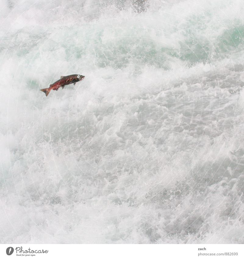 With all my might Fish Animal Water Drops of water Summer Autumn Mountain Wells Gray Park Coast Lakeside River bank Waterfall Rapid Wild animal Salmon Flying
