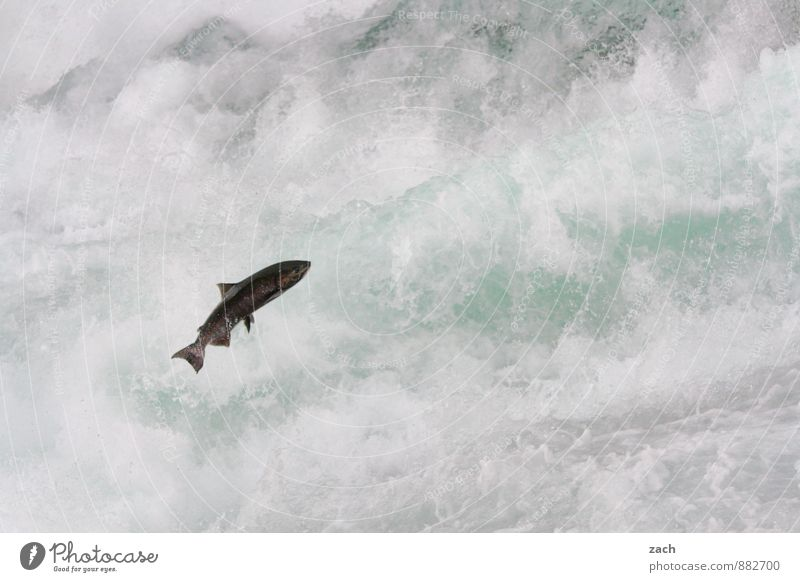 With all my might Fish Animal Water Drops of water Summer Autumn Mountain Wells Gray Park Coast Lakeside River bank Waterfall Rapid Wild animal Salmon 1 Flying