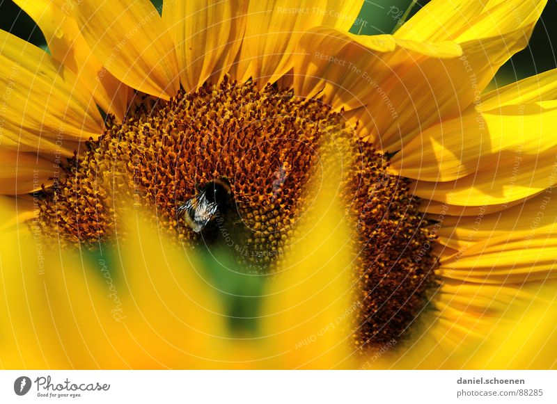 sunny yellow Stamen Sunflower Yellow Summer Spring Ecological Blossom Plant Blossom leave Bee Honey Brown Nectar Blue sky Warmth Nature Pollen Detail