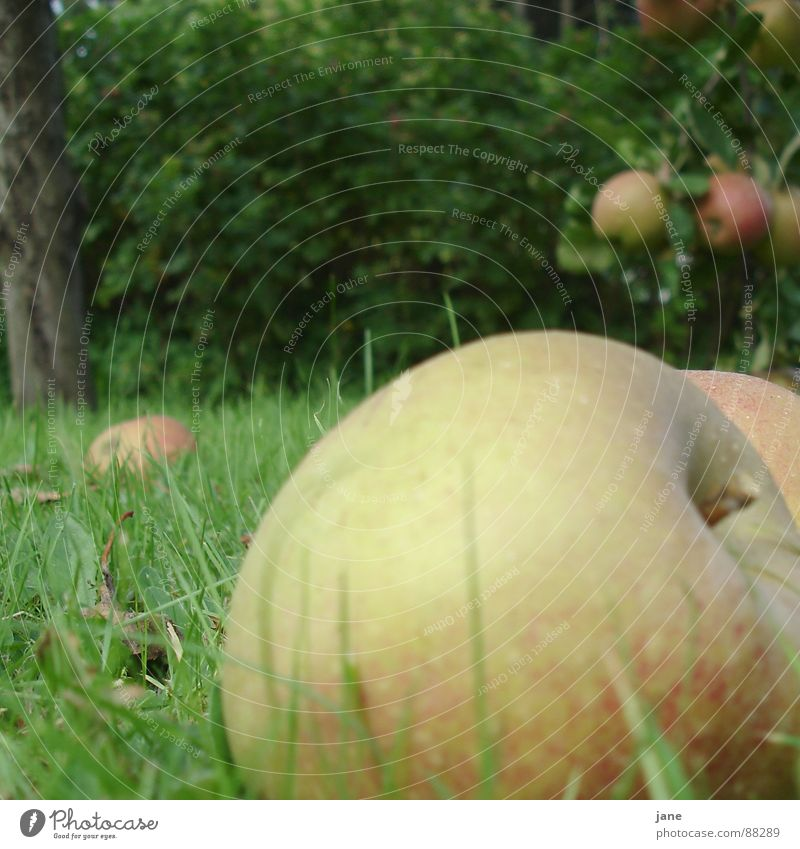 windfall Apple harvest Red Juicy Grass Apple tree Autumn Fruit Garden Windfall