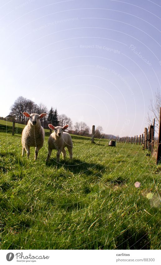 Green Meadow Grass Spring Feasts & Celebrations 2 Nutrition Cute Sweet Curiosity Attachment Fence Tradition Mammal Sheep Stupid