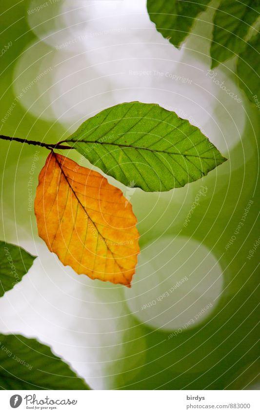 individuality Summer Autumn Leaf Beech leaf Twig Autumnal colours Autumn leaves Old Illuminate Esthetic Fresh Positive Beautiful Yellow Green Beginning Colour