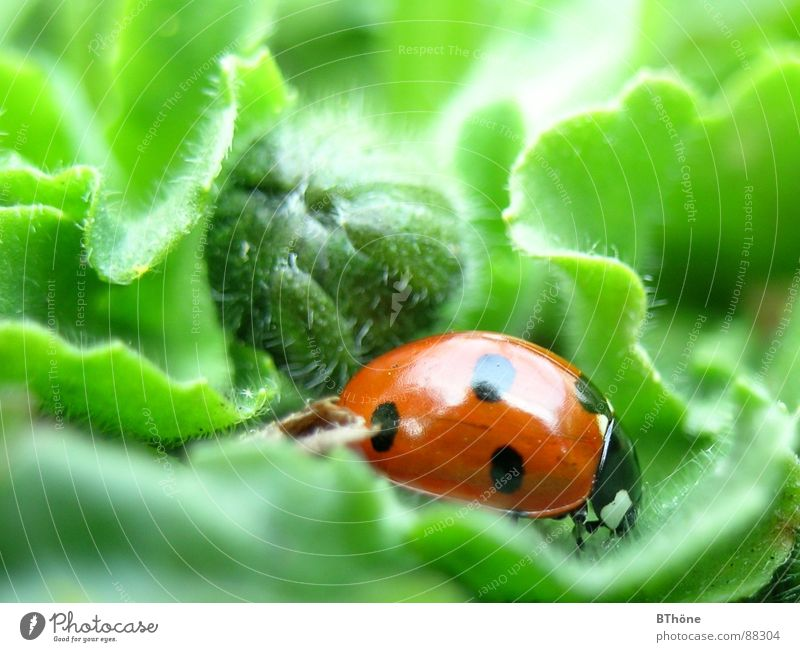 Marientarzan in the leaf jungle Ladybird Bow Seven-spot ladybird Red Green Discover Goblin Farm animal Insect Hope ladybug ladybeetle Beetle Happy lucky