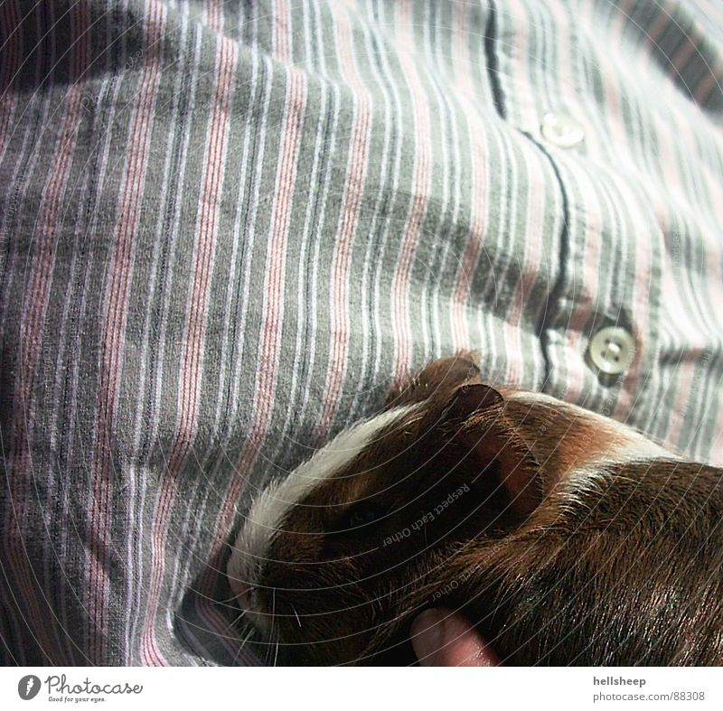 Guinea Pig & Stripes Guinea pig Buttons Brown White Stitching Animal Cute Shirt Pet Mammal Sewing thread small and sweet