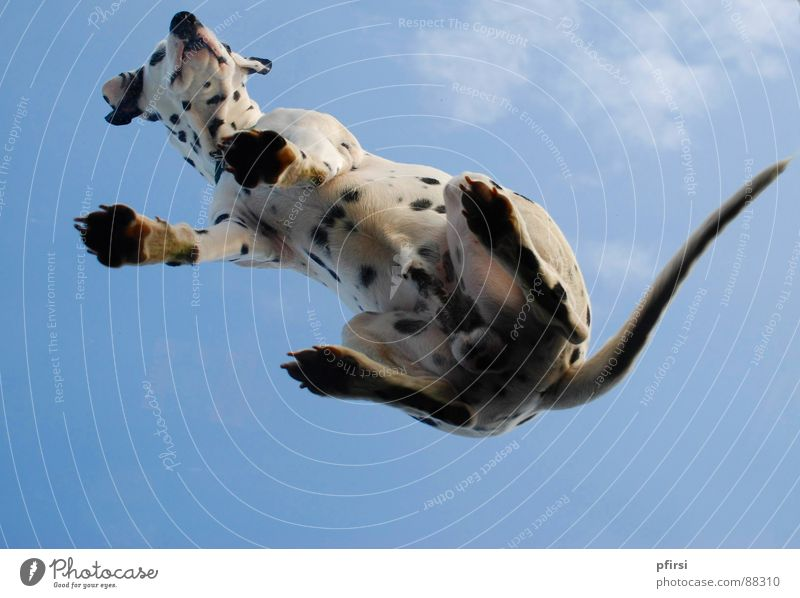 Dog from below - 2 Dalmatian Spotted Dappled Worm's-eye view Pane Pet Mammal Point Patch enzo Flying woof