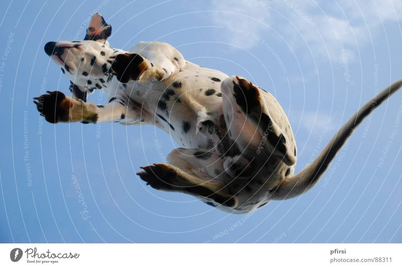 Dog from below - 3 Dalmatian Spotted Dappled Worm's-eye view Pane Pet Mammal Point Patch enzo Flying woof