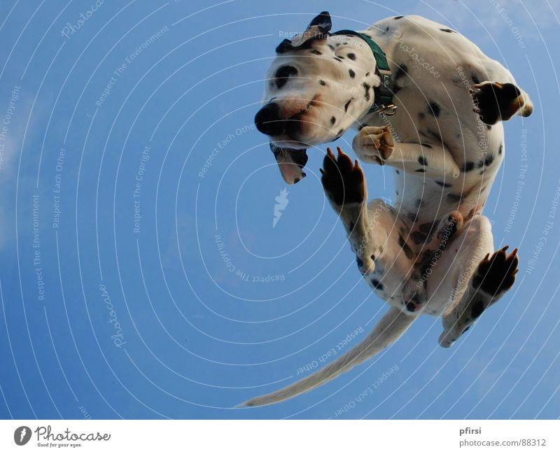 Dog from below - 4 Dalmatian Spotted Dappled Worm's-eye view Pane Pet Mammal Point Patch enzo Flying woof