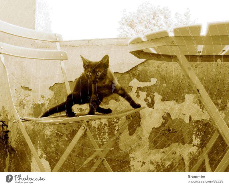 Cat Old Black Wall (building) Jump Table Chair Balcony Plaster Mammal Animal Assassin