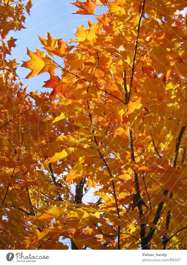 Nature Tree Autumn Maple tree Indian Summer Bright Colours