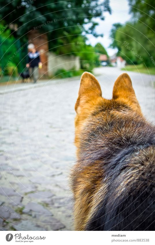 vigilant Walk the dog To go for a walk Keeping of animals Street Animal Pet Dog Pelt Shepherd dog Watchdog 2 Observe Looking Curiosity Loyal Love of animals