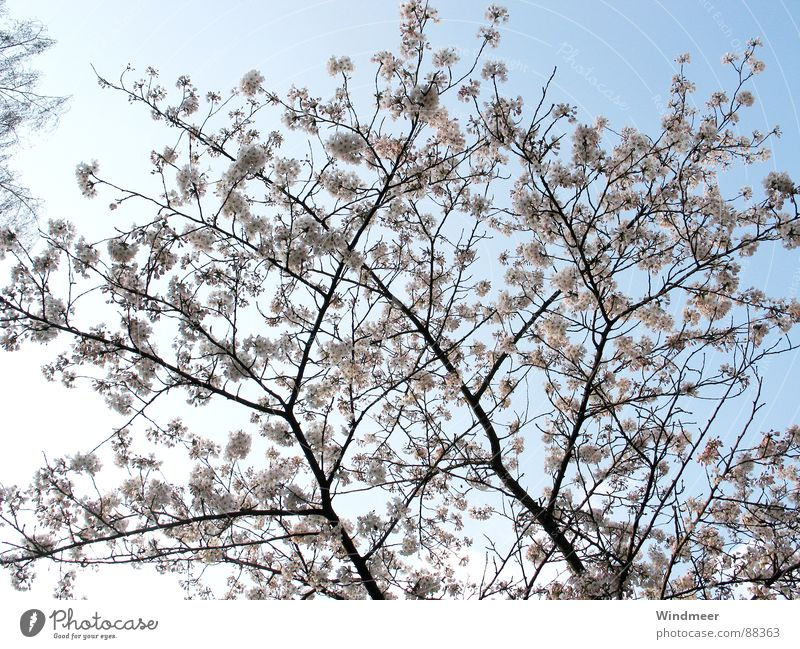 Sky Nature Plant Tree Flower Spring Blossom Jump Pink Branch Twig Bud Cherry Bielefeld