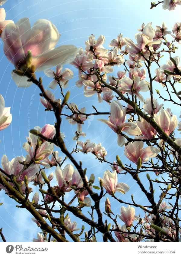 magnolia tree Tree Bielefeld Flower Blossom Blossom leave Spring Magnolia plants Plant Pink Jump Sky Branch Blossoming easter Bud Nature Twig