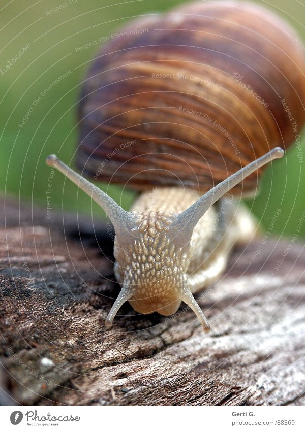 `o´ Vineyard snail Large garden snail shell Snail shell Feeler Mucus Green Crawl Slow motion Wood Wood backing Tree stump Air-breathing land snail Hybrid