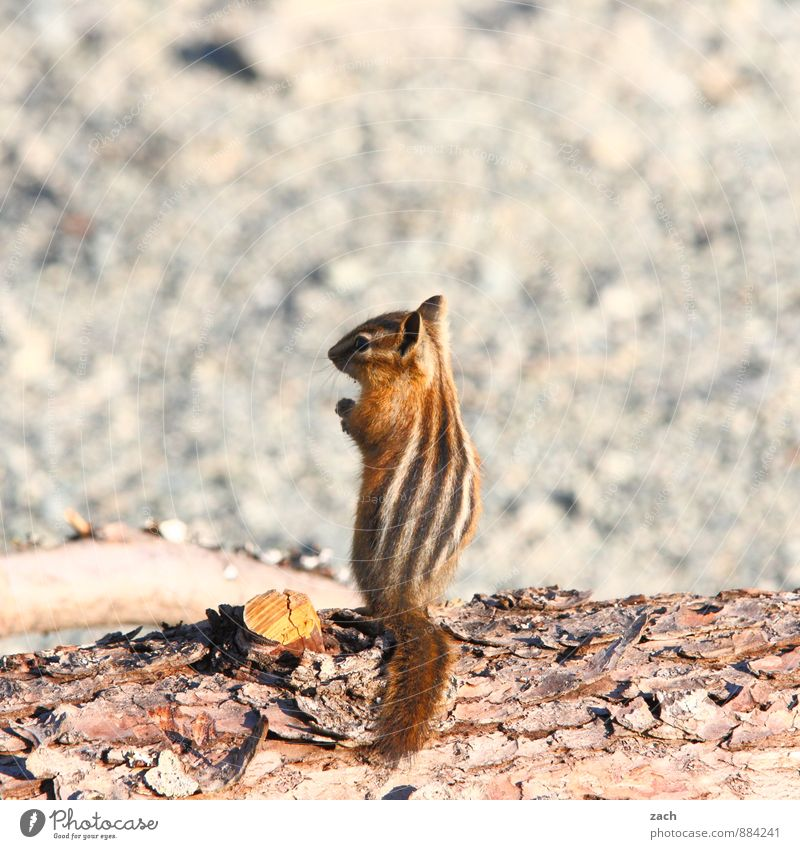 on patrol Tree Animal Wild animal Pelt Rodent Eastern American Chipmunk Squirrel 1 Wood Observe To feed Feeding Stand Cute Brown Gray Posture Stripe