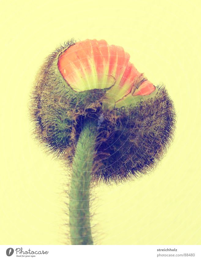 Flower Joy Yellow Blossom Happy Pink Hope Growth Blossoming Poppy Bud Pollen Optimism Pistil Maturing time