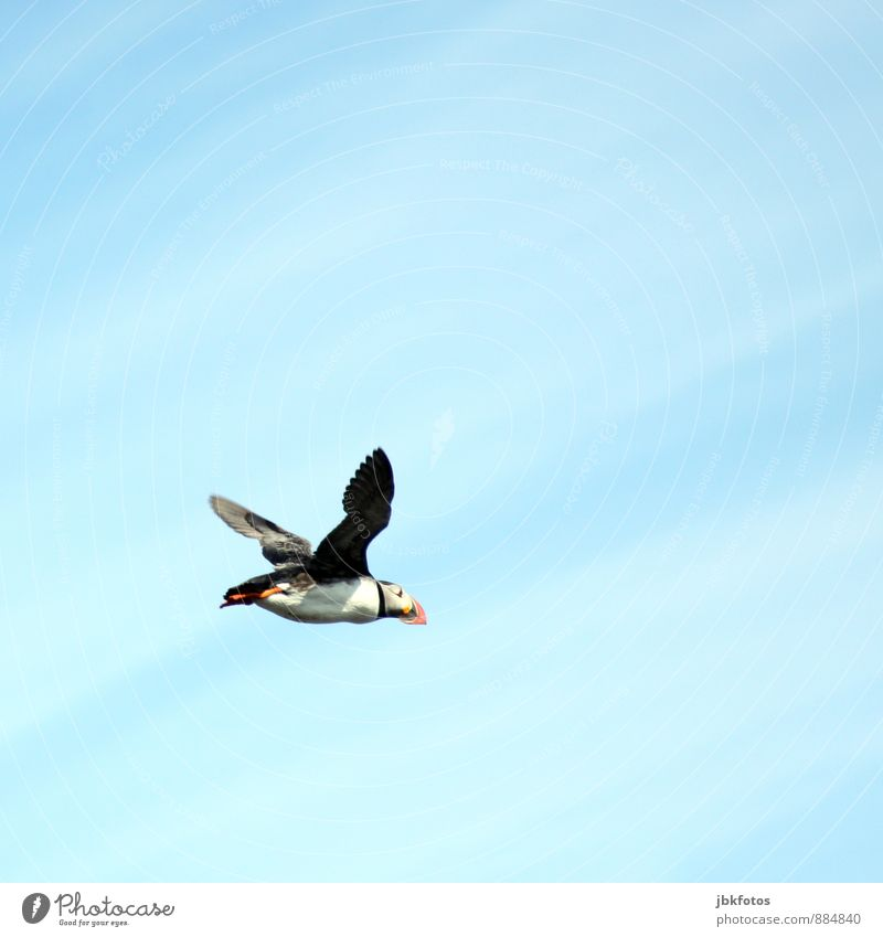 ICELAND / Puffin Environment Nature Plant Air Sky Summer Island Iceland Animal Wild animal Bird 1 Flying Brash Free Infinity Funny Natural Cute Athletic Blue
