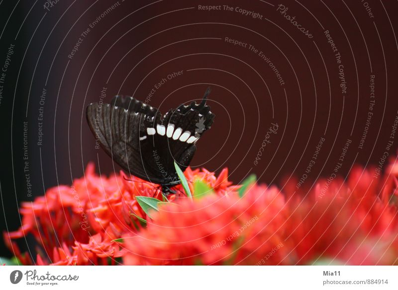 Nature Plant Red Flower Animal Black Blossom Eating Flying Wing Butterfly