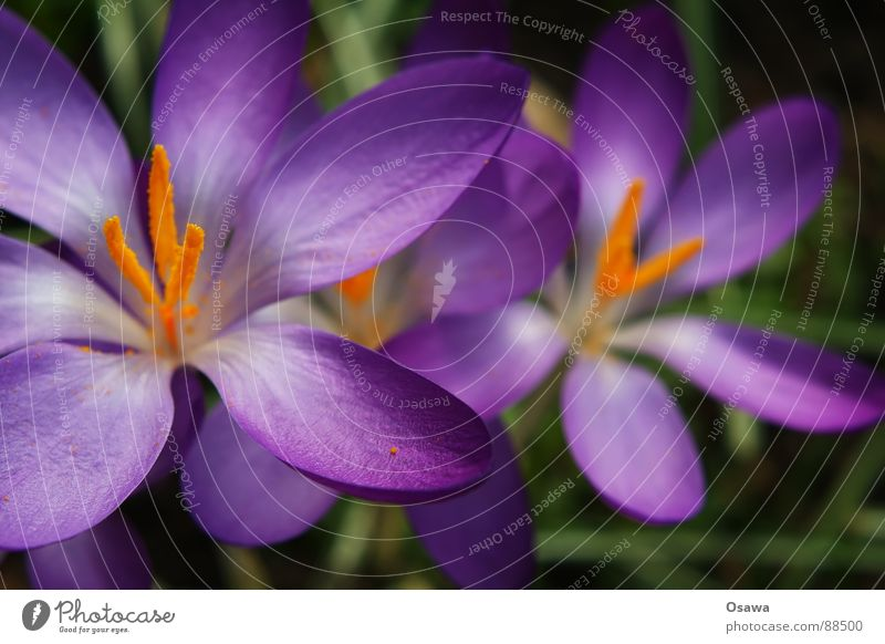 Flower Blue Plant Winter Meadow Blossom Spring Orange Violet Pistil Crocus