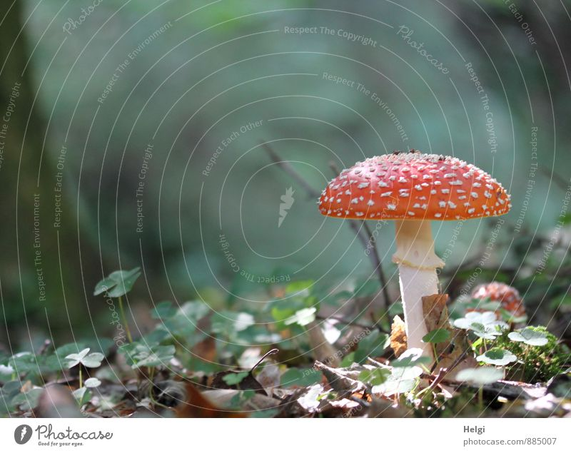 another Little Red Riding Hood... Environment Plant Autumn Beautiful weather Mushroom Amanita mushroom Woodground Forest Stand Growth Esthetic Authentic Natural