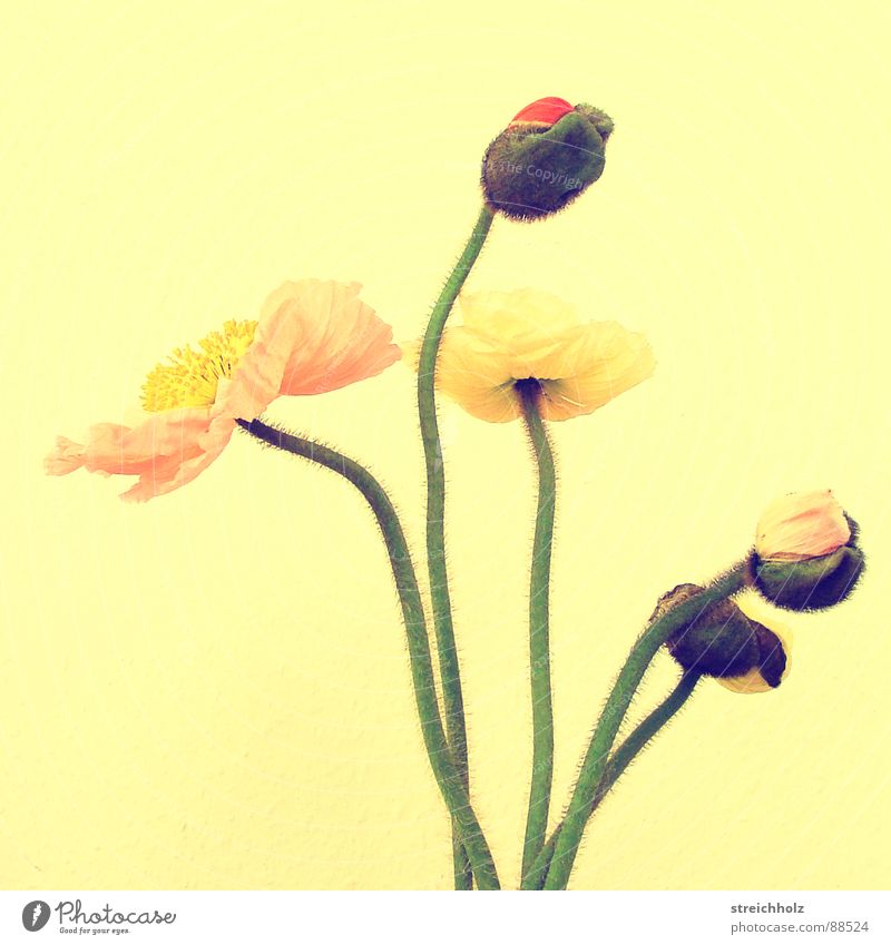 Flower Joy Yellow Blossom Pink Growth Blossoming Hope Poppy Bud Optimism Pistil Pollen Abstract Maturing time
