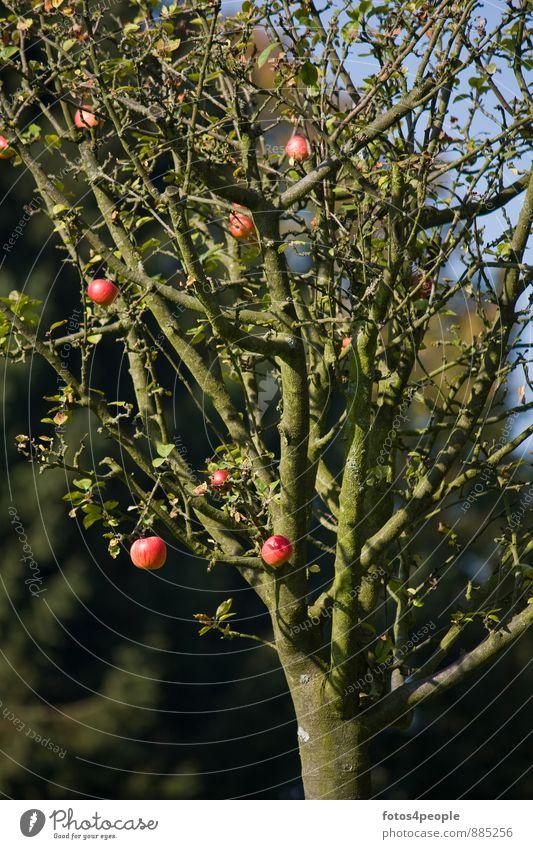 Tree Red Autumn Fruit Twig Harvest Apple Mature Apple tree