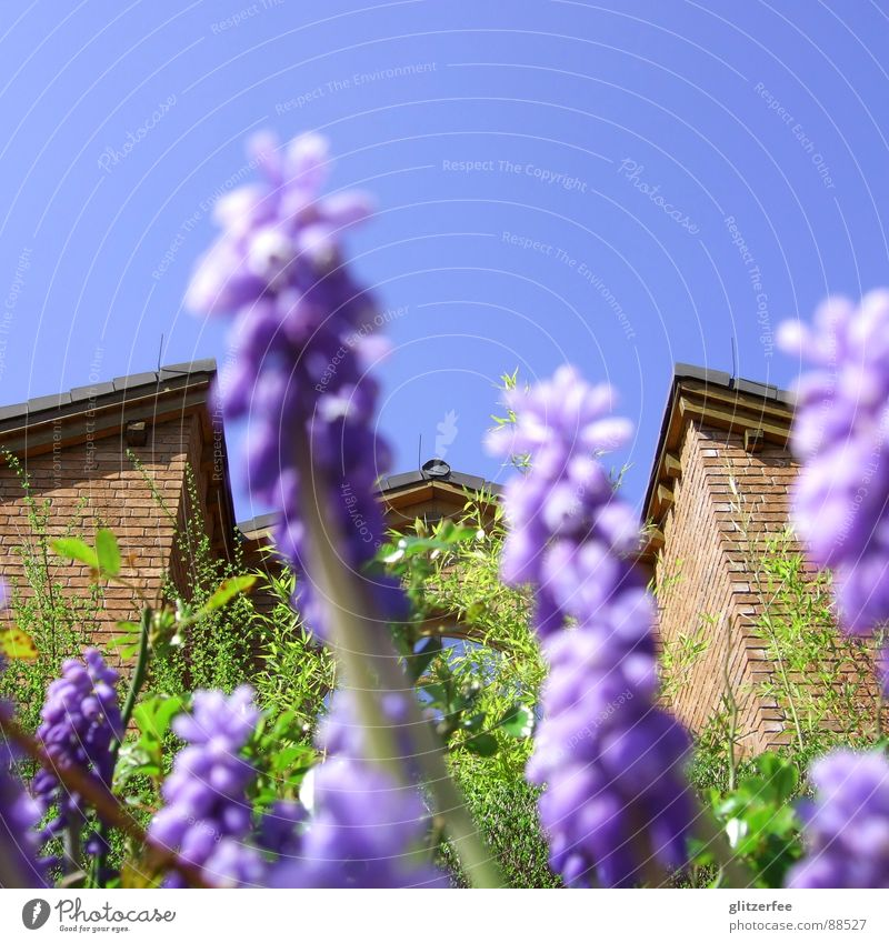 flowery view of neighbor's house Muscari Flower Plant Bulb flowers Violet Green House (Residential Structure) Brick Brown Roof Gable Neighbor