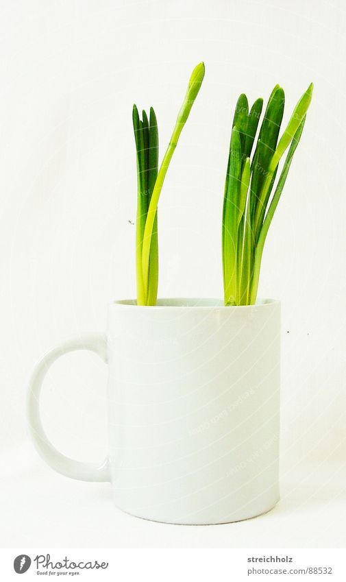 Spring in the coffee cup Tulip Green Fresh Hope Cup Growth Maturing time Optimism Sprout Grown Workbench Agency Crazy Whimsical Grass Design Success