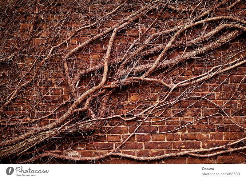 intrigue Wall (barrier) Wall (building) Tendril Green facade Ivy Winter Diagonal Maturing time Natural growth Plant Brick Might Vine knotweed