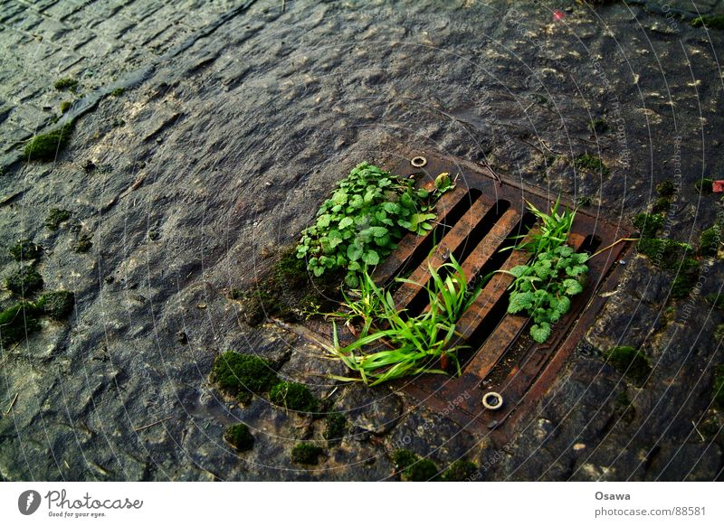Beautiful Green Plant Red Black Street Lanes & trails Glittering Wet Places Sidewalk Rust Damp Cobblestones Gully Paving stone