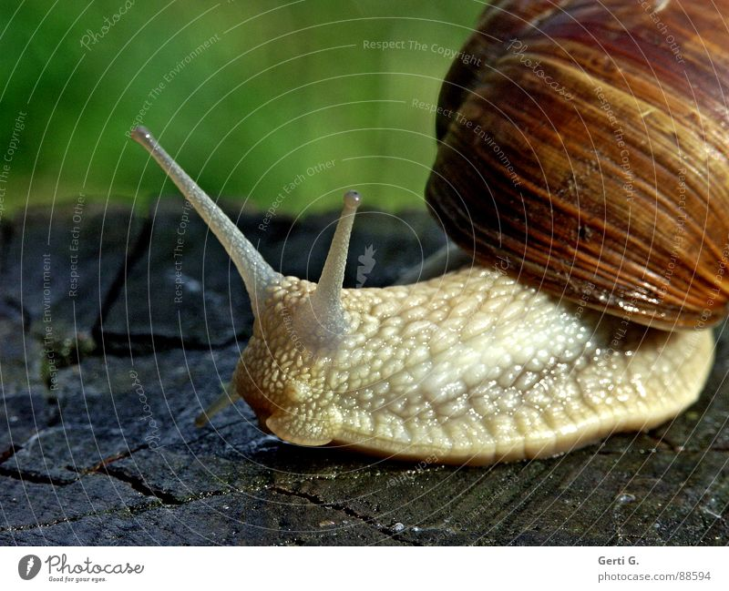 bootlicker Vineyard snail Large garden snail shell Snail shell Feeler Mucus Green Crawl Slow motion Wood Wood backing Tree stump Air-breathing land snail Hybrid