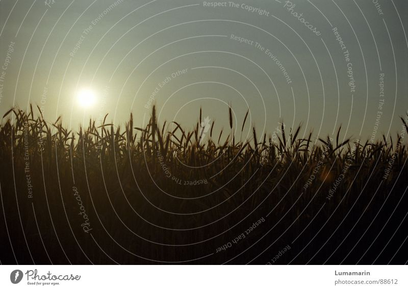 evening harvest Grain Contentment Summer Field Growth Ear of corn Blade of grass Stalk Sunset Cycle Maturing time Harvest Colour photo Exterior shot Close-up