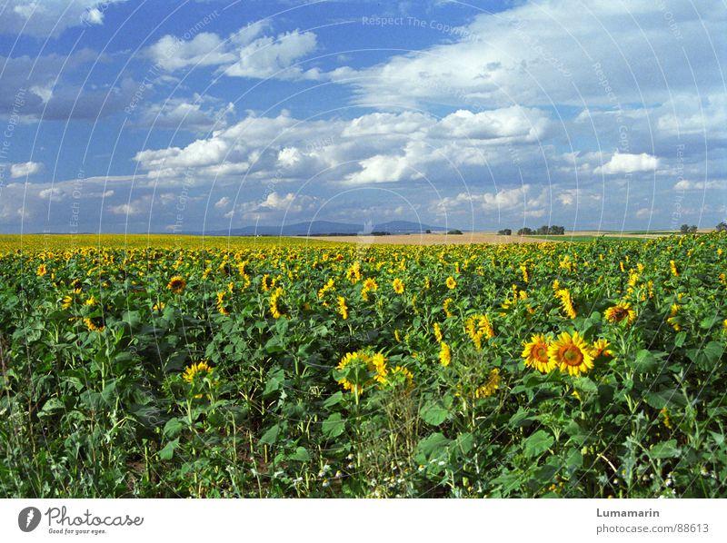 friendly view Joy Summer Landscape Sky Clouds Horizon Field Friendliness Blue Yellow Sunflower Colour photo Exterior shot Deserted Day Panorama (View)