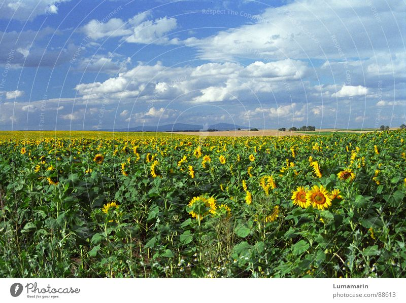 Nature Sky Blue Summer Joy Clouds Far-off places Yellow Blossom Landscape Field Horizon Friendliness Sunflower Beautiful weather