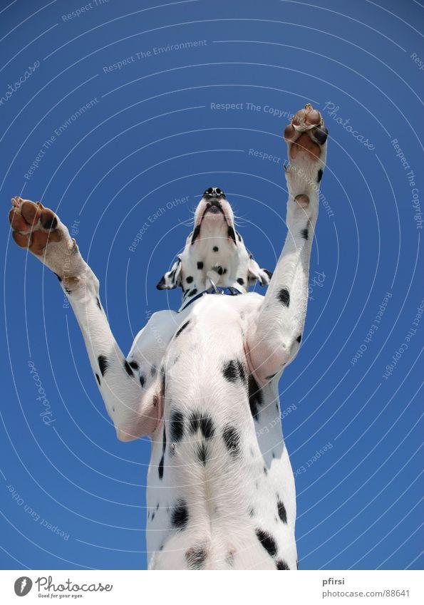 Dog Large Point Patch Mammal Animal Dalmatian Dalmatia Godzilla