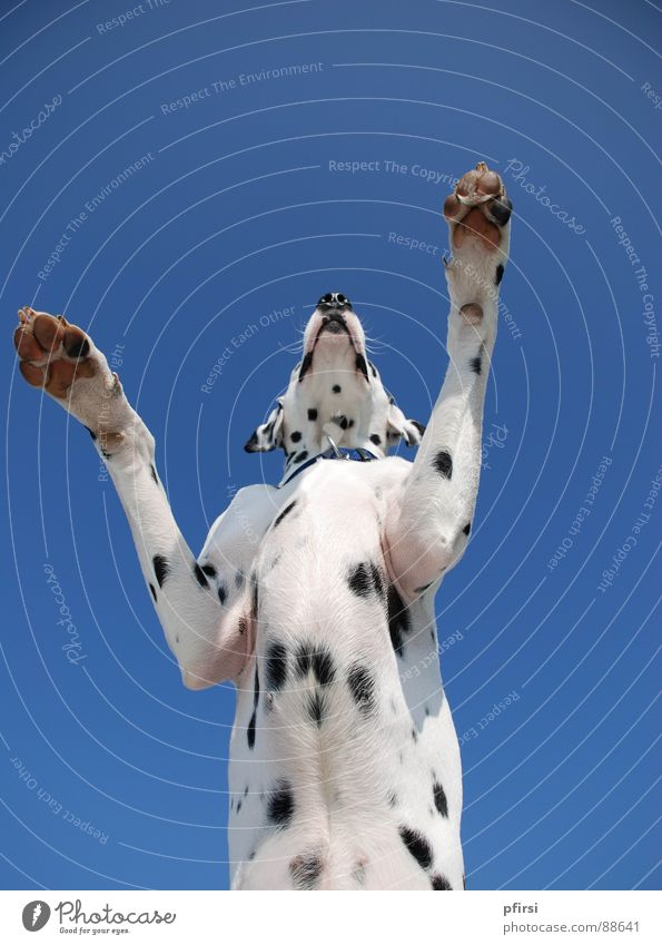 dogzilla Dog Dalmatian Worm's-eye view Godzilla Large Mammal chien enzo dalmatian dalmation Point Patch