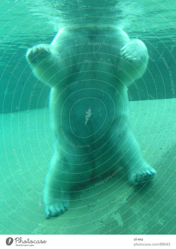 polar bear Polar Bear Mammal Underwater photo Zoo Toronto Water Ice