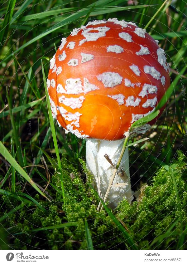 Above Fly Mushroom Amanita mushroom
