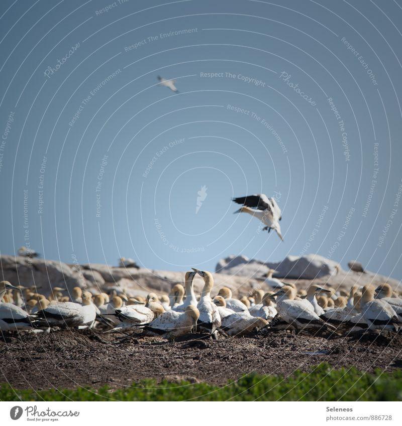 bass gannet, group meeting Vacation & Travel Tourism Trip Adventure Freedom Environment Nature Landscape Sky Cloudless sky Horizon Coast Animal Wild animal Bird