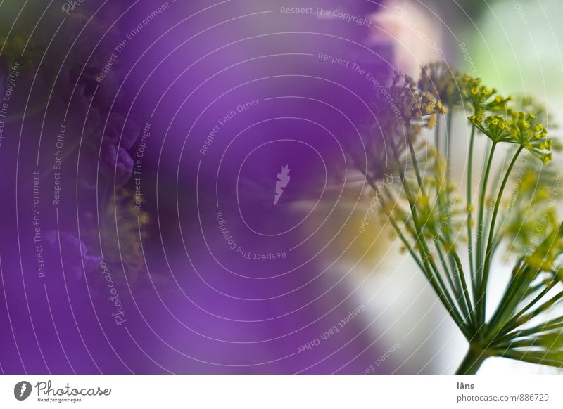 Plant Flower Natural Exceptional Living or residing Decoration Blossoming Violet Bouquet Inspiration Dill Dill blossom