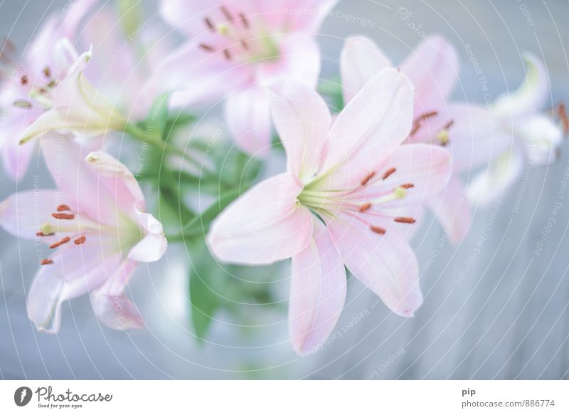Plant Beautiful Green Flower Gray Pink Esthetic Gift Delicate Bouquet Blossom leave Pistil Lily Stamen