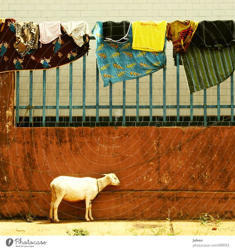 Guinean Laundry Africa Sheep Goats Brown Wall (barrier) Jabou