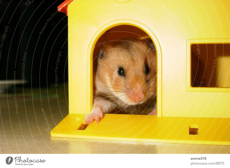 Pet Rodent Hamster