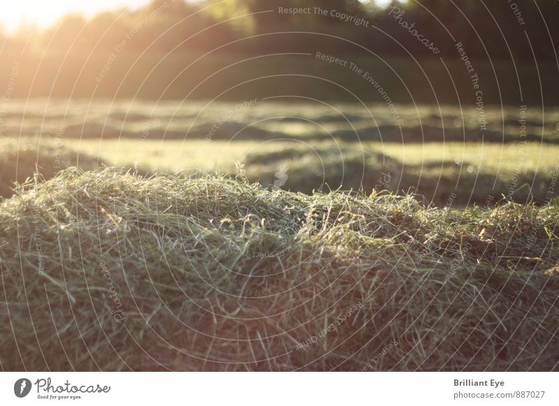 Freshly mown grass in the evening sun Agriculture Forestry Nature Plant Sun Sunrise Sunset Sunlight Spring Summer Beautiful weather Grass Agricultural crop