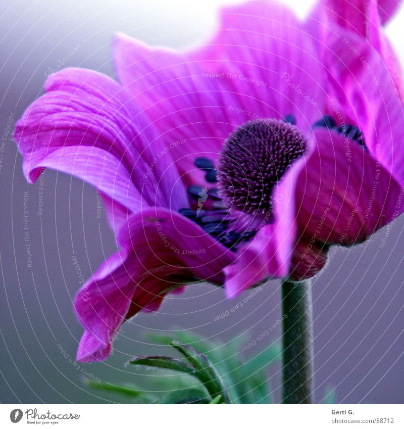 Blue Green Beautiful Plant Flower Blossom Pink Elegant Violet Blossoming Sphere Pistil Medicinal plant Anemone Crowfoot plants
