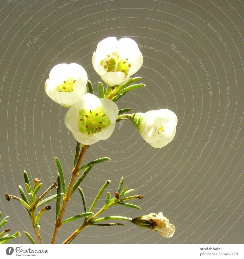 Flower Joy Blossom Happy Hope Growth Blossoming Daisy Mystic Bud Magic Pollen Optimism Pistil Enchanting Maturing time
