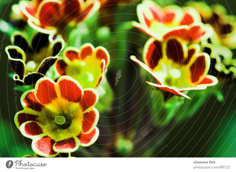 primroses Green Red Flower Plant Flowerpot Multicoloured Pattern Primrose Macro (Extreme close-up) Structures and shapes Colour