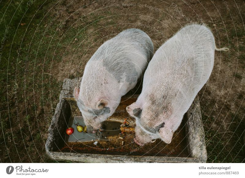 Resolution für´s new year: less food! Nature Meadow Animal Farm animal Swine 2 Eating Dark Pot-bellied pig Dappled Apple Pear Feeding area Tub Back Colour photo
