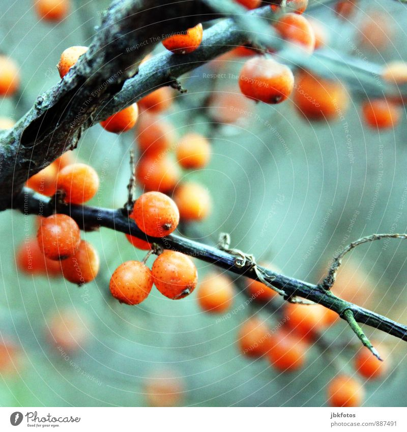 vitamin C Food Diet Body Environment Nature Landscape Plant Agricultural crop Wild plant Sallow thorn Relaxation Eating Vitamin C Healthy Eating Autumnal